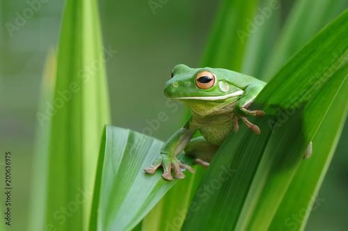Foto op Canvas Kikker Tree Frog Whitelips