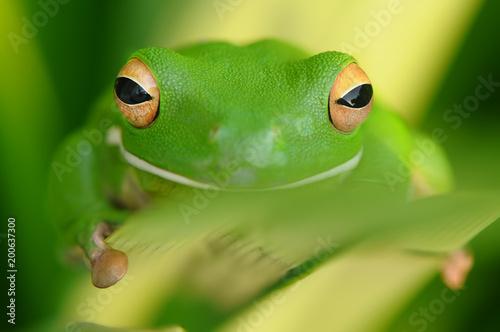 Tuinposter Kikker Tree Frog Whitelips