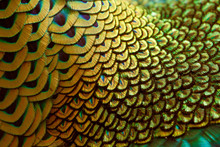 Golden Neck Feathers Of Male Green Peafowl / Peacock (Pavo Muticus) (shallow Dof)
