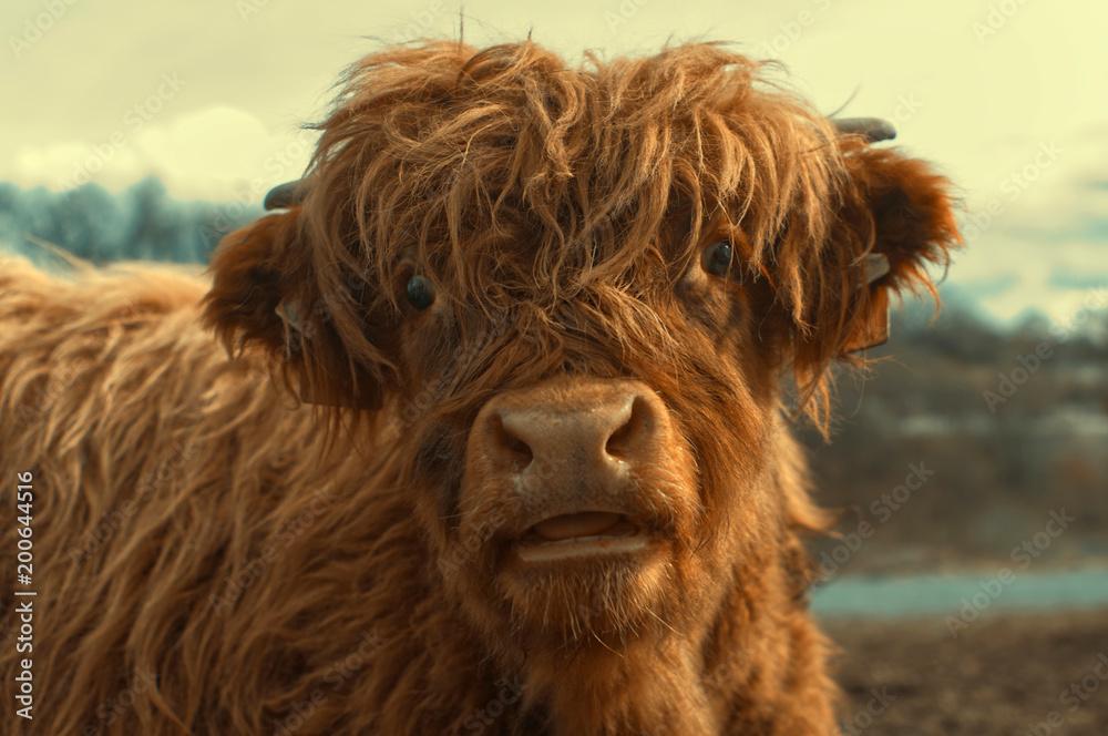 Fototapeta Portrait of a cute highland cattle.