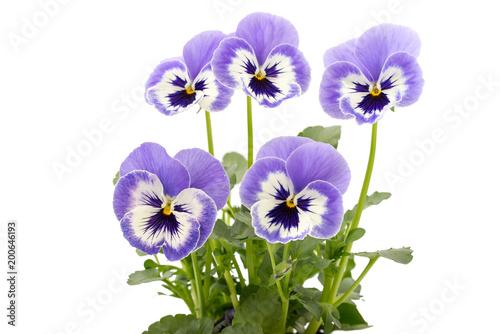 Papiers peints Pansies Viola wittrockiana