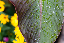 Canna Lily After Summer Rain