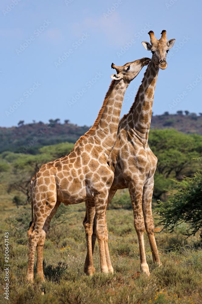 Interaction between two giraffes (Giraffa camelopardalis), South Africa.