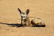 canvas print picture - A bat-eared fox (Otocyon megalotis) in natural habitat, Kalahari desert, South Africa.