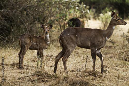 Deurstickers Antilope ethiopian antelopes in the forest