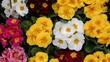 Leinwandbild Motiv anemone flower, spring flower