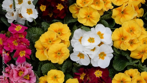 Garden Poster Floral anemone flower, spring flower