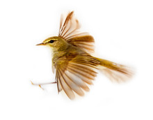 Willow Warbler (Phylloscopus T...