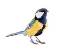 Great Tit Favorite Bird In Eur...