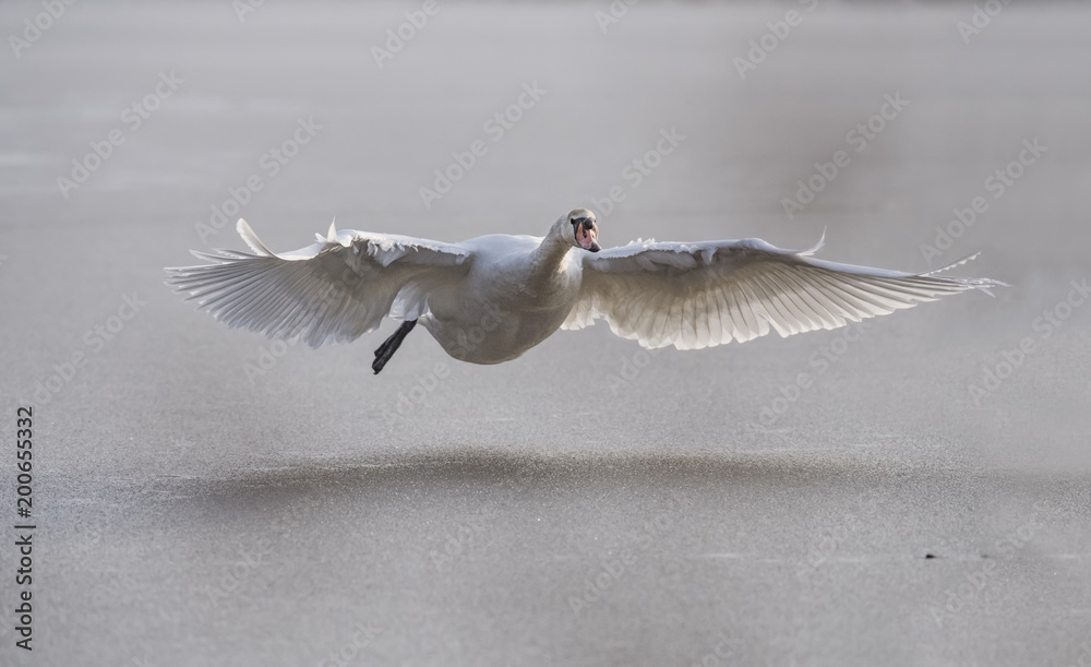 Mute Swan flying across a frozen pond, close up