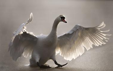 Mute Swan landing on a frozen pond, close up