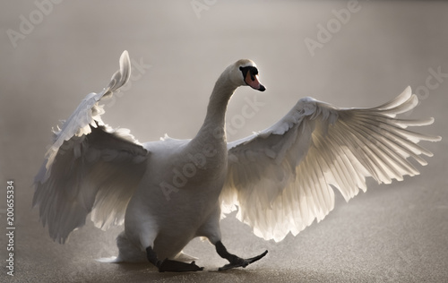 Fotobehang Zwaan Mute Swan landing on a frozen pond, close up