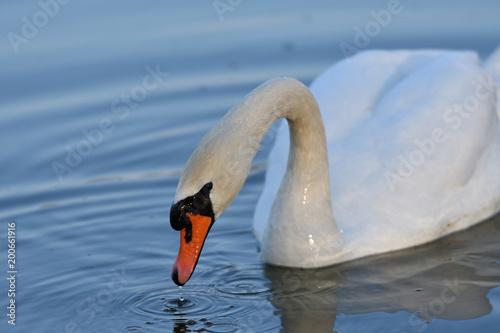Staande foto Zwaan close up portrait of white swan on the water lake