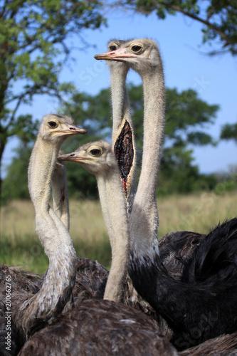 In de dag Struisvogel Ostrich - Uganda, Africa