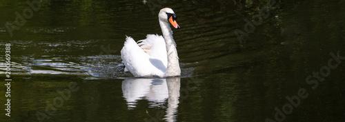 Staande foto Zwaan Swan panorama