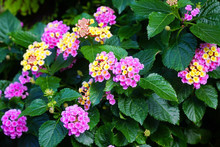 Colorful Lantana Camara Bloomi...