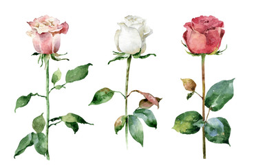 Fototapeta Róże Watercolor roses on white background