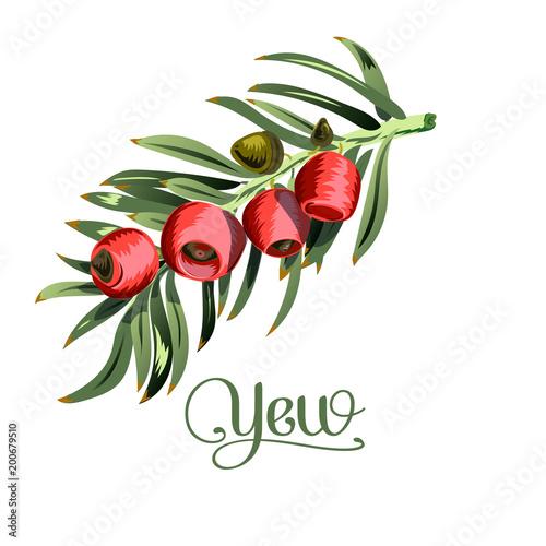 Brush the yew. Illustration on white background. Isolated. Fototapeta