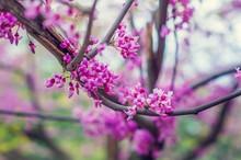 Redbud Tree Flowers.