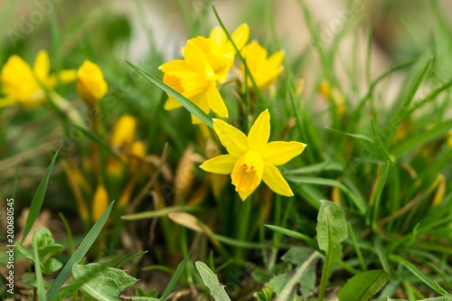 Narcissus Daffodil flower in grass. Slovakia