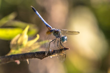 Blue Dasher Dragonfly Close-up