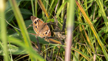 Common Buckeye (Junonia Coenia) Warming Its Wings During Sunset On The Prairie