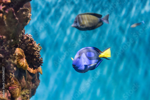 Closeup of a regal blue tang in aquarium environment Wallpaper Mural