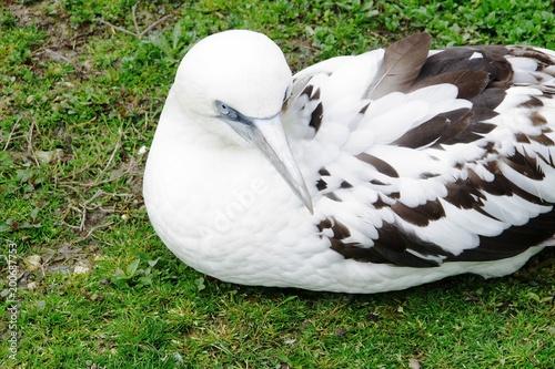 Photo Fou de bassan,oiseau aquatique,oiseau de mer