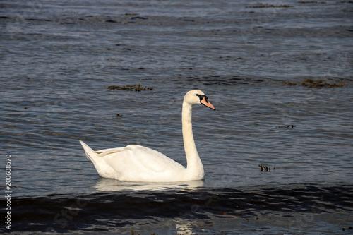 Staande foto Zwaan Swan in a Coastal River Estuary