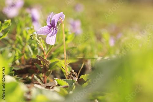 Fotobehang Bloemen Small Wild Violet Flower in Green Grass