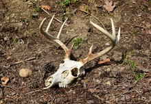 A Whitetail Deer Skull And Ant...