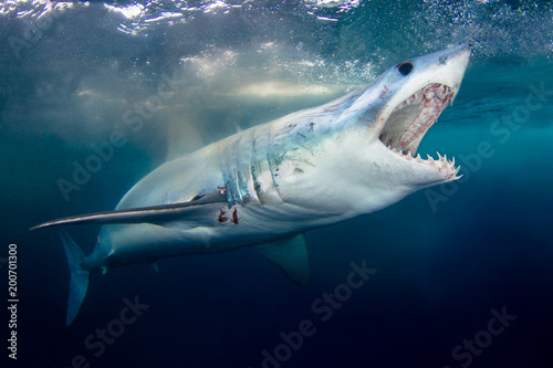 A Short Fin Mako Shark showing its pearly whites Fototapet