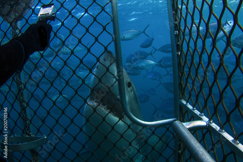 Fotografie, Obraz  A very curious Great White Shark taking a look at a cage diver