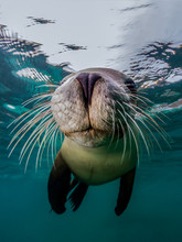 A Close Up Of Australian Sea Lion And His Amazing Whiskers (Neophoca Cinerea)