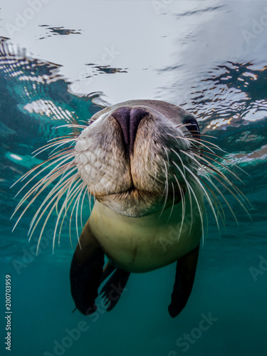 Photo A close up of Australian Sea Lion and his amazing whiskers (Neophoca cinerea)