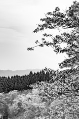 Fototapeta【モノトーン】奈良県・吉野山の桜・早朝