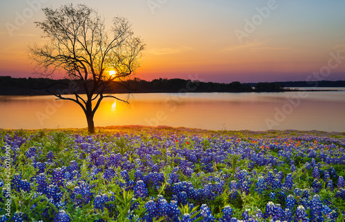 Poster Texas Beautiful Texas spring sunset over a lake. Blooming bluebonnet wildflower field and a lonely tree silhouette.