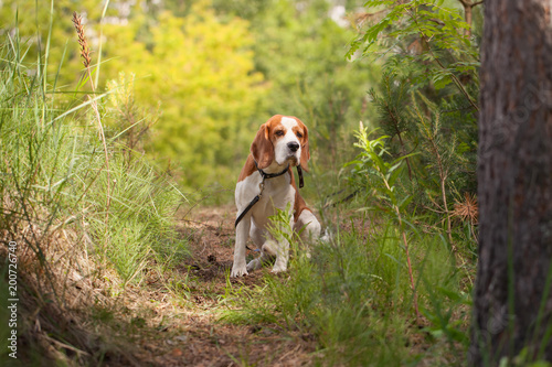 Papiers peints Jardin beagle in forest