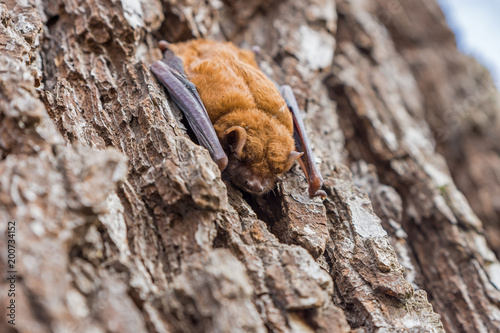 brown bat sleeps on the bark of a tree trunk