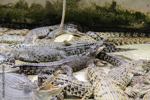 Foto op Plexiglas Krokodil Several crocodiles