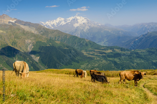 Photo Stands Grocery Green meadow with cows on mountain background, Mestia village, Svaneti region, Georgia