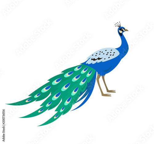 Valokuva Cartoon peacock icon on white background.