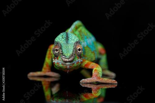 La pose en embrasure Cameleon alive chameleon reptile