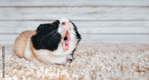 Fotografía Guinea pig yawns and shows her teeth