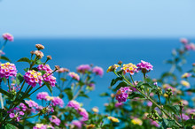 Lantana Flowers Against The Blue Sea, Postcard, Background For Tourist Booklet