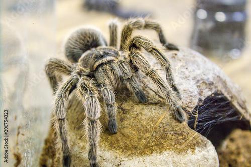 A Huge Spider Goliath Bird Eating Tarantula The Biggest
