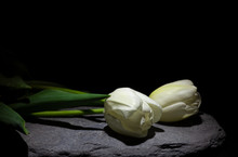 Two White Tulip On Stone Under A Dim Light On Black Background (framing Horizontal)
