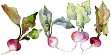 Radish Wild Vegetables  In A W...