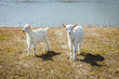 Two little goats are looking into the frame. Lovely and beautiful animals.