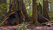 Giant Redwood Tree Trunks